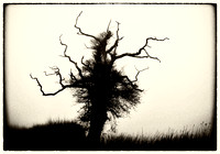 Old oak tree towards snettishan-Edit